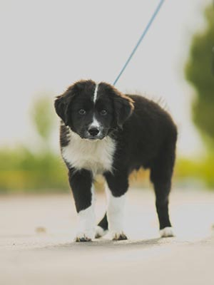 Wags and Walks: Puppy Leash Training